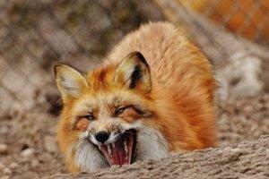 Из-за бешеной лисы в Фокинском районе Брянска бесплатно провакцинируют собак и кошек