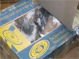 Брянские таможенники отослали обратно на Украину 50 голубей