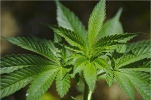 Севские полицейские изъяли у наркодилера партию «травы»
