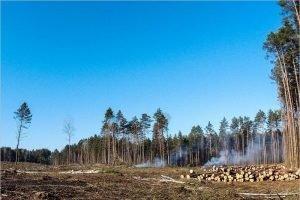 Под Брянском лесорубы уничтожили вековой лес между Белыми Берегами и Бабинкой