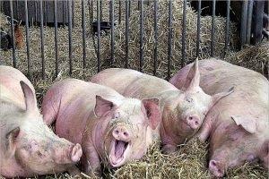 Брянская прокуратура поймала букмекерскую контору за свинокомплекс