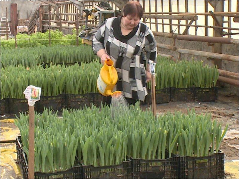 В Брянске вырастили к 8 Марта 8 тысяч тюльпанов