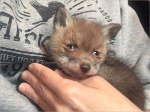 В центре реабилитации диких животных в «Брянском лесу» поселился лисёнок