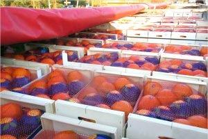 Брянские таможенники перехватили «заблудившиеся» испанские апельсины