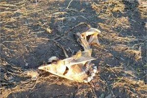 Летний паводок и жара губят в Десне под Брянском краснокнижную стерлядь