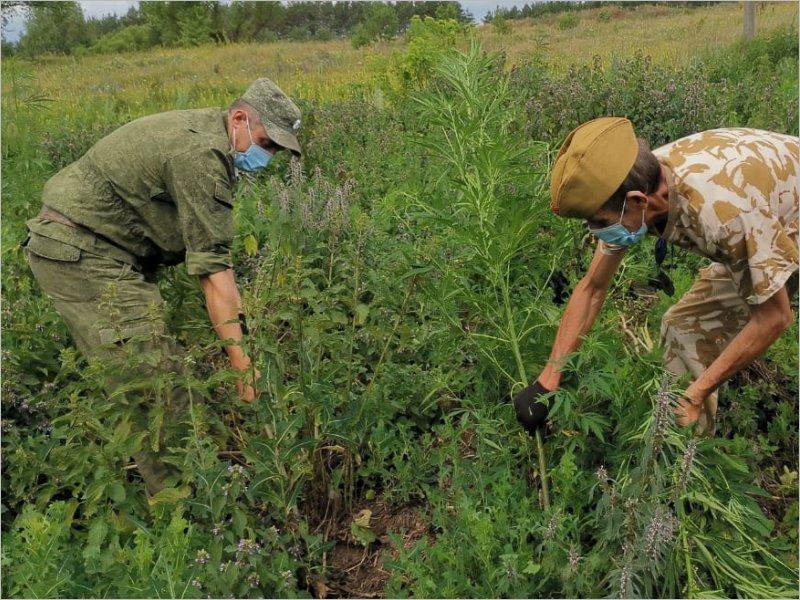 В Брянской области сожжено поле конопли вблизи украинской границы
