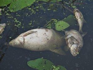 Рыба в новозыбковской реке Корна погибла из-за прорыва канализационной трубы — прокуратура