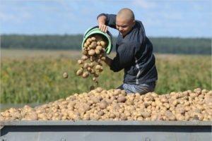 Задача на урожай-2021 в Брянской области: 1,2 млн. тонн картофеля