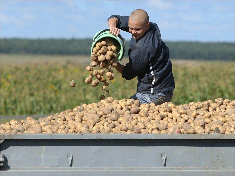 Брянские аграрии накопали уже более 12 тыс. тонн раннего картофеля