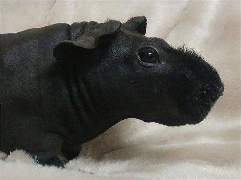 В брянском мини-зоопарке появилось очередное потомство у «мини-бегемотиков»
