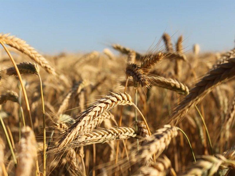 Россельхознадзор назвал районы Брянской области с лучшим по качеству зерном урожая-2020