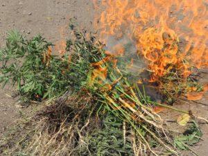 В Погарском и Севском районах уничтожены две плантации конопли