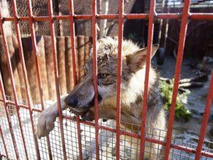 В трёх районах Брянской области объявлен карантин по бешенству