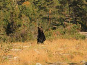Специалисты «Брянского леса» посчитали медведей в «Онежском Поморье»