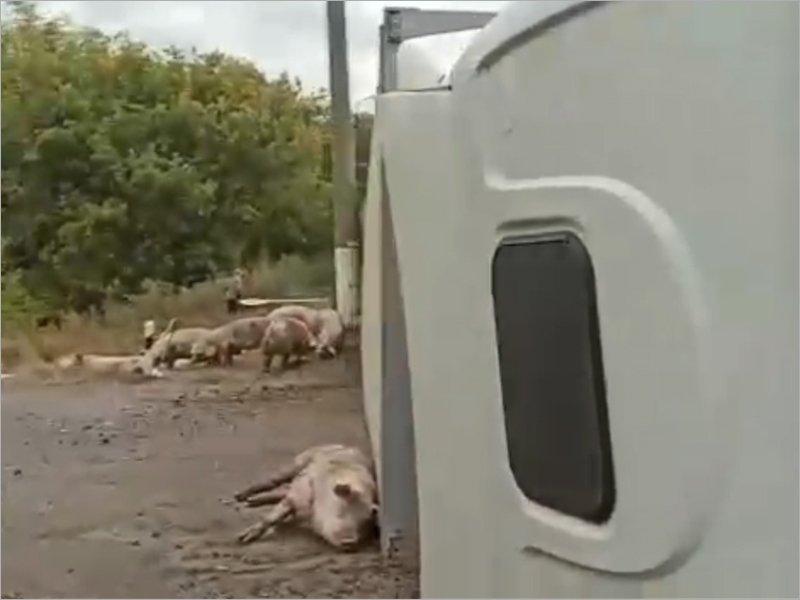 Брянские паблики: на местной дороге перевернулся большегруз со свиньями. Среди свиней есть жертвы (видео)