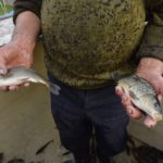 В пруд при заповеднике «Брянский лес» выпустили почти 400 килограммов карпа и белого амура