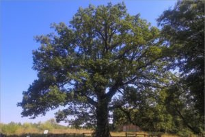 Брянский Партизанский дуб занял третье место в конкурсе «Российское дерево года-2020»