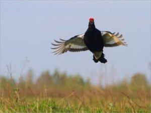 Перепись птиц в «Брянском лесу»: прирост рябчика и снижение численности глухаря и тетерева