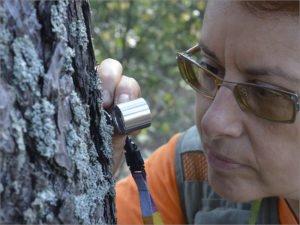 В заповеднике «Брянский лес» специалисты нашли два новых вида лишайников