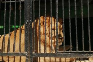 Активисты собирают продукты для застрявшего в Карачеве передвижного зоопарка