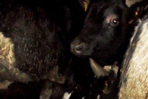 В Брянской области на границе притормозили белорусских коров-нелегалов