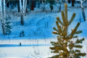 Брянское лесничество прекратило продажу новогодних ёлок. Временно – до 1 января
