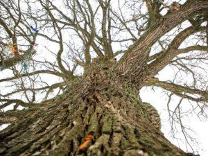 Брянский Партизанский дуб получил регалии «Российского дерева года». За третье место