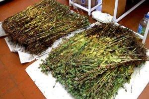 Приятели из Трубчевского района отработают 440 часов на двоих за сбор маковой соломки