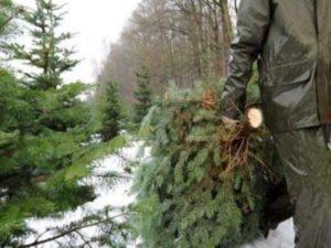 В Брянской области стражи порядка изъяли 306 незаконных новогодних ёлок