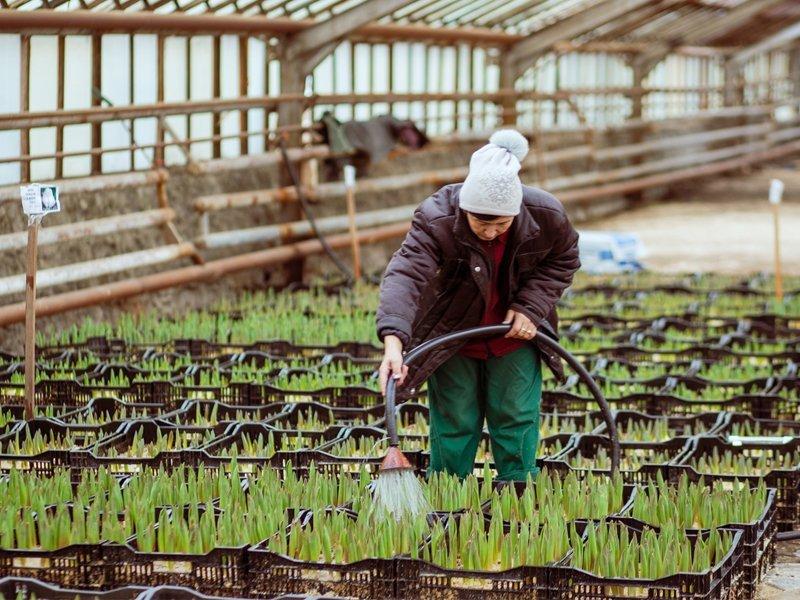 Весна в Брянске начнётся с десятков тысяч разноцветных тюльпанов