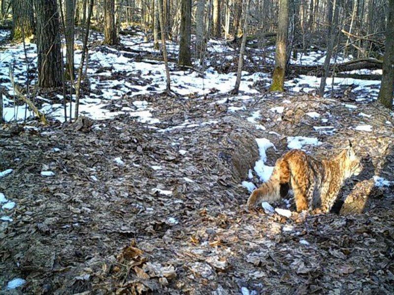 В Брянской области пересчитают лесных зверей