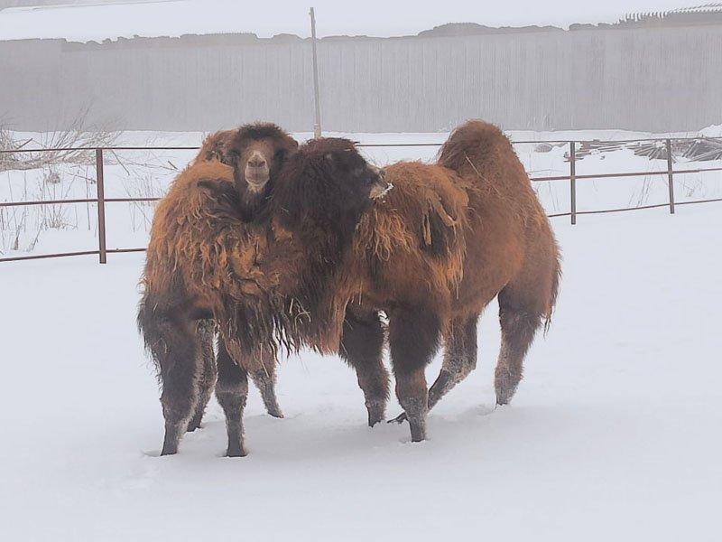 На Локотской конезавод приехали два верблюда