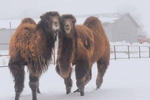 На Локотской конезавод приехали два верблюда из Пензы