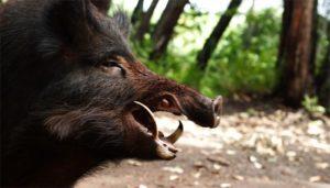 Итоги зимнего учёта животных в брянских лесах: в борьбе с АЧС практически уничтожено поголовье кабанов