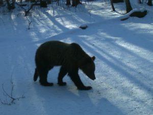 Медведи в «Брянском лесу» проснулись. Ждём пробуждения Лешего