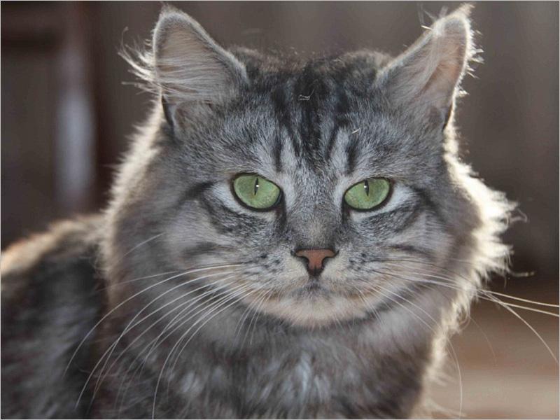 В РФ начинаются доклинические испытания вакцины для профилактики аллергии на кошек
