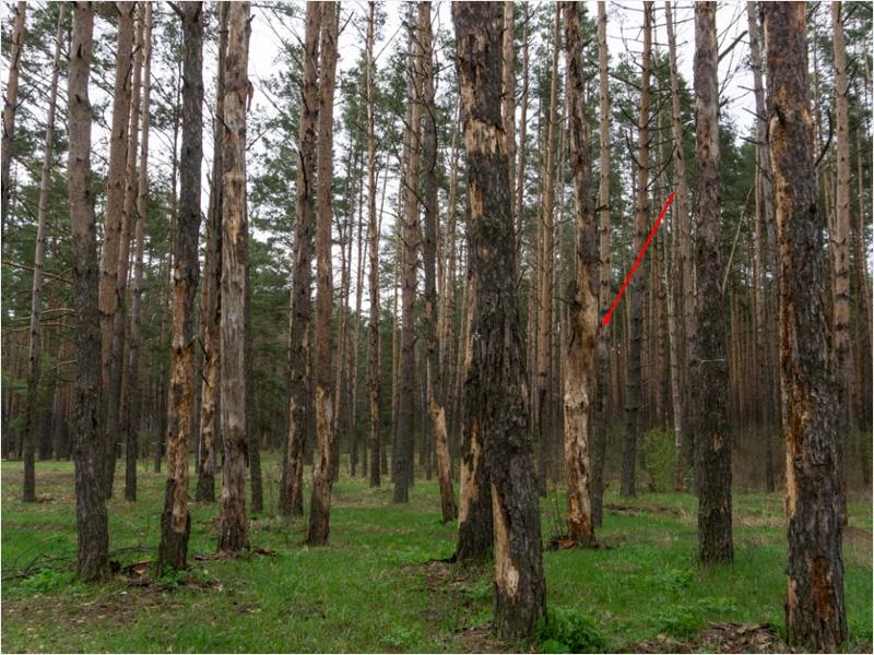 На поляне брянского фестиваля «КСП 176 км» погибает сосновый бор
