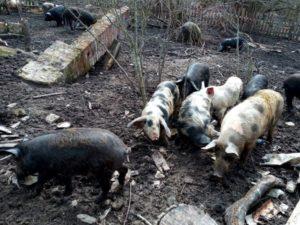 Россельхознадзор пожурил брянское свиноводческое хозяйство за свинство