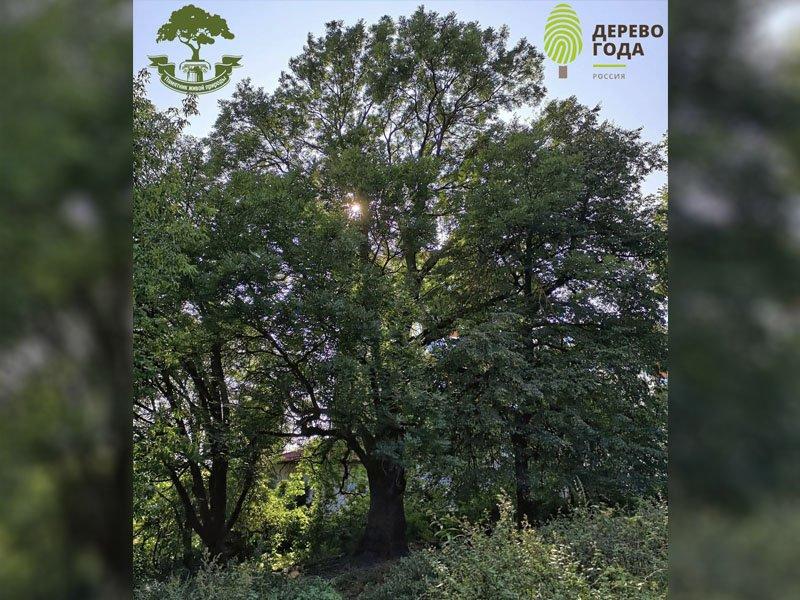 В Брянске ясень – претендент на «Российское дерево года-2021» откопают от мусора