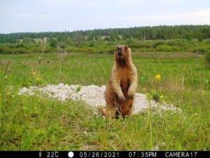 Первыми «фотомоделями» для новых фотоловушек «Брянского леса» стали сурки