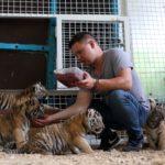 В Брянском цирке родились четверо тигрят