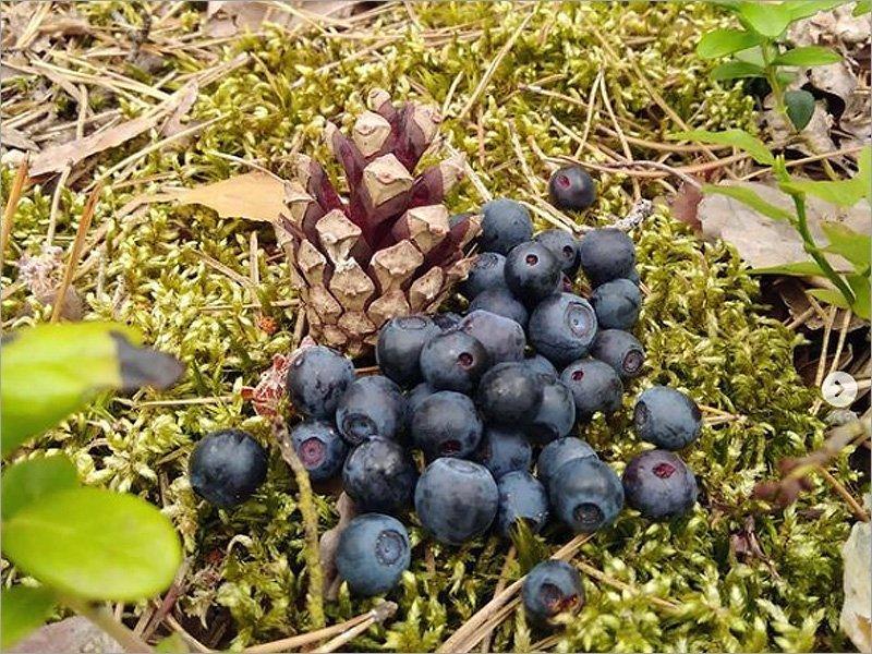 Содержание радионуклидов в ягодах и грибах, собранных на юго-западе Брянской области, не превышает норму
