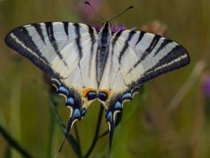 В последние волонтерские выходные-2021 в «Брянском лесу» высадят «кормовую базу» для краснокнижной бабочки