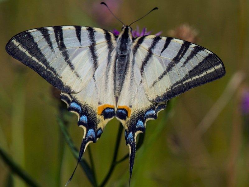 В заповеднике «Брянский лес» обнаружена бабочка, считавшаяся в области исчезнувшей
