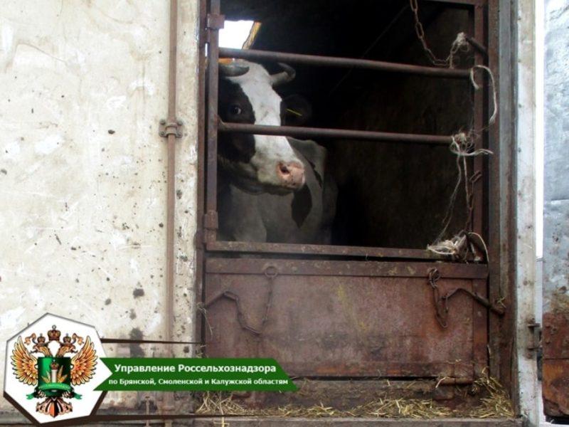 В Брянскую область не пустили два десятка белорусских коров