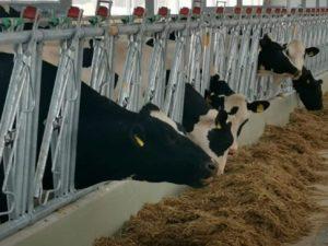 В Брянскую область завезли 630 коров голштинской породы. Под крупный инвестпроект