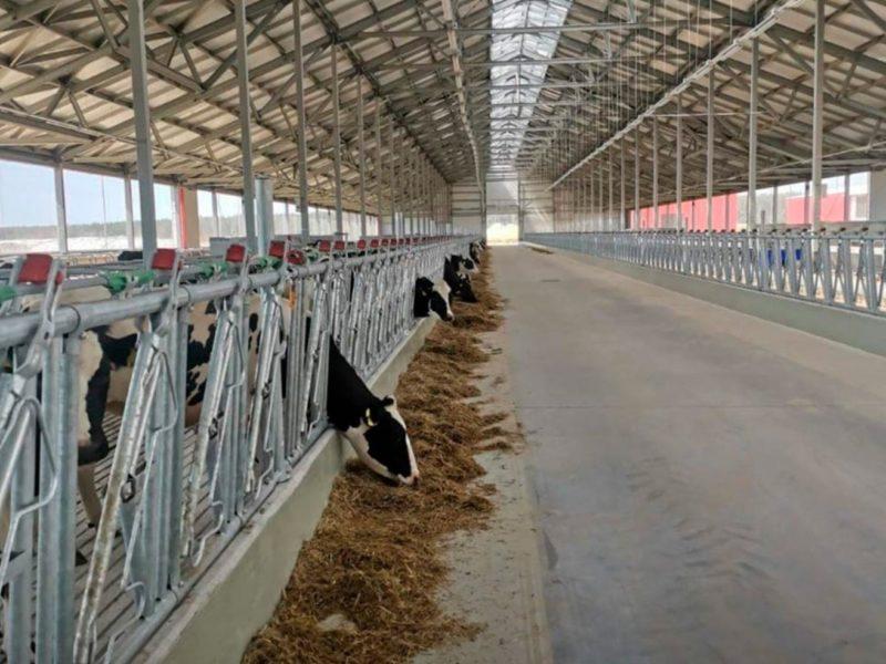 В Брянскую область завезли 630 коров голштинской породы