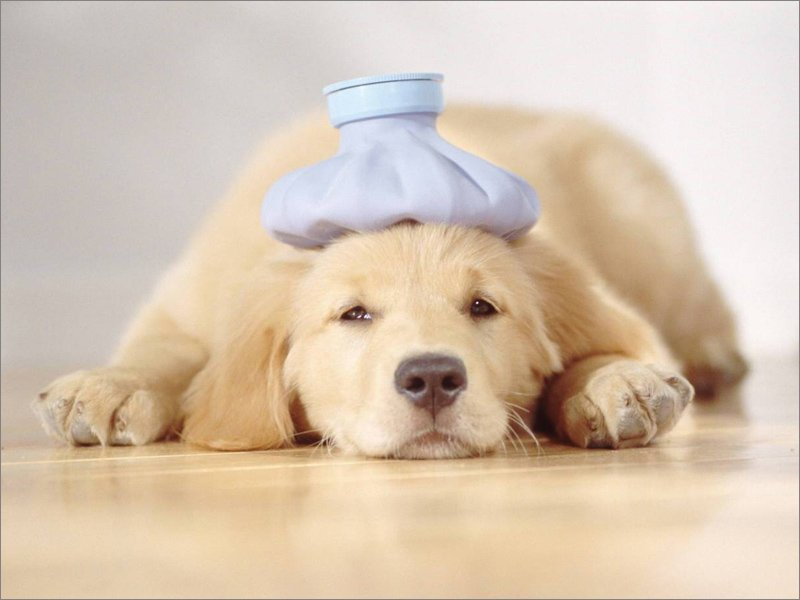Как помочь собаке при тепловом ударе