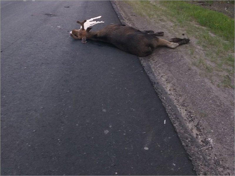 На трассе «Брянск-Дятьково» под колёсами машины погиб лось