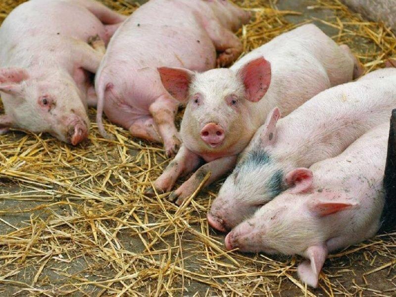 Дописследования не подтвердили африканскую чуму свиней в Унечском районе — управление ветеринарии